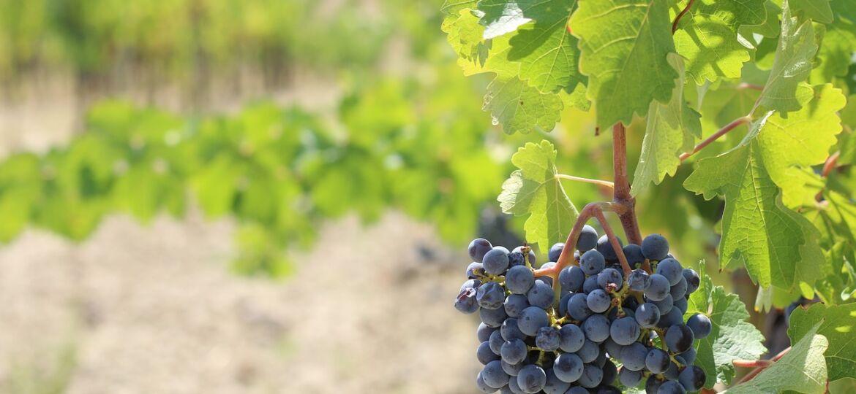 wine brunello