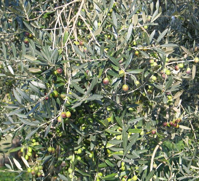 extra virgin olive oil trees