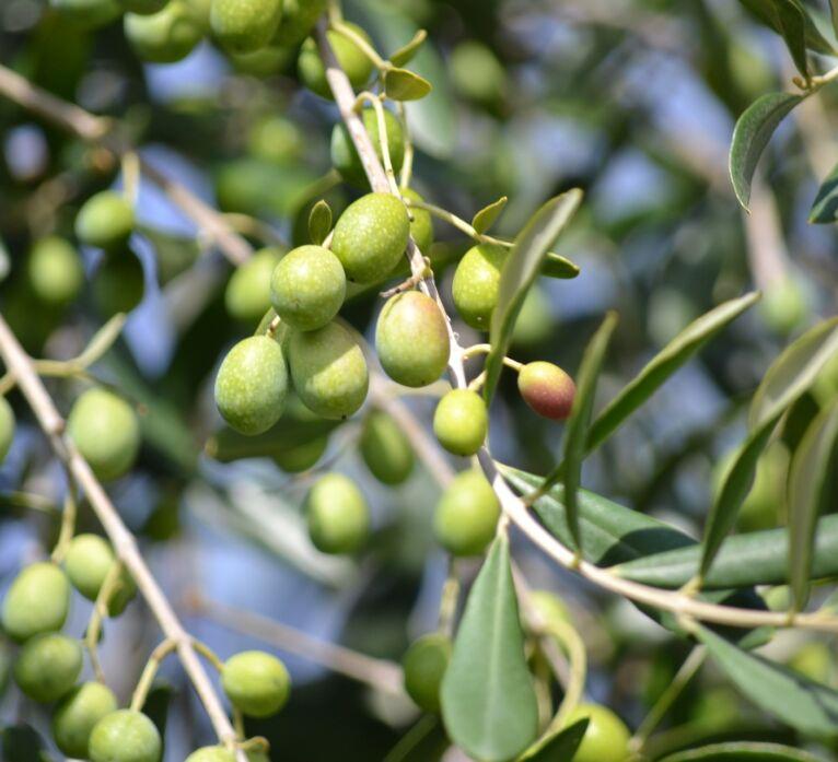olio extra vergine di oliva toscano: olive