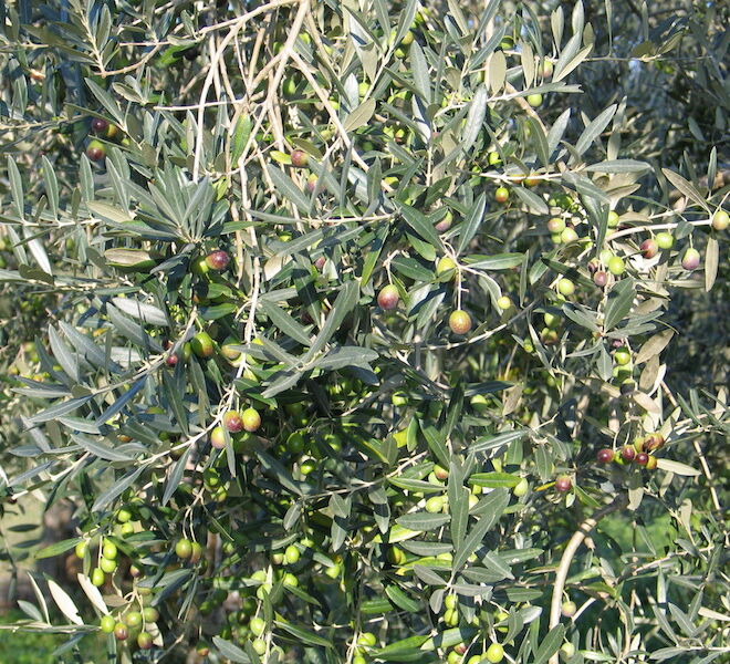 olio extra vergine di oliva toscano: oliveta