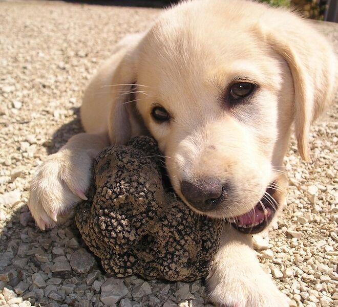 truffle hunting in Tuscany: the dog