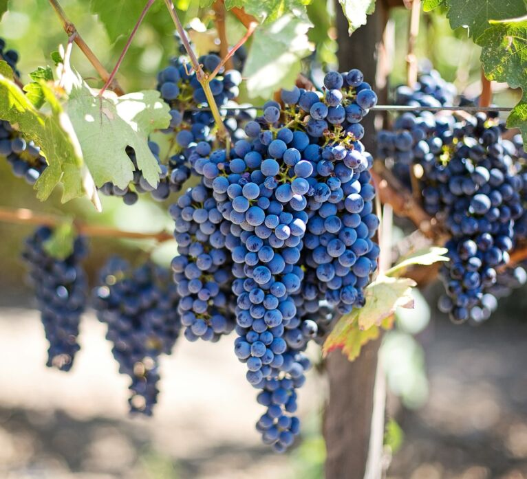 wine tour in Tuscany: vineyards and grapes in Montalcino